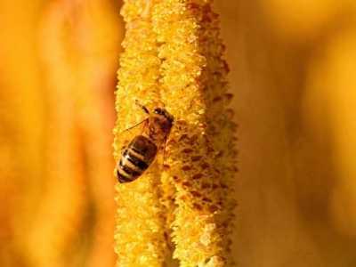什幺是熟蜜 生蜂蜜